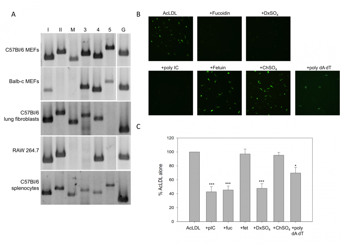 Primary murine fibroblasts express functional SR-As.