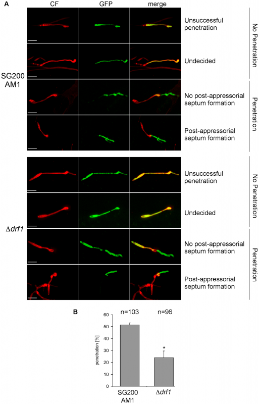 Penetration efficiency from appressoria of <i>drf1</i> mutants is reduced.