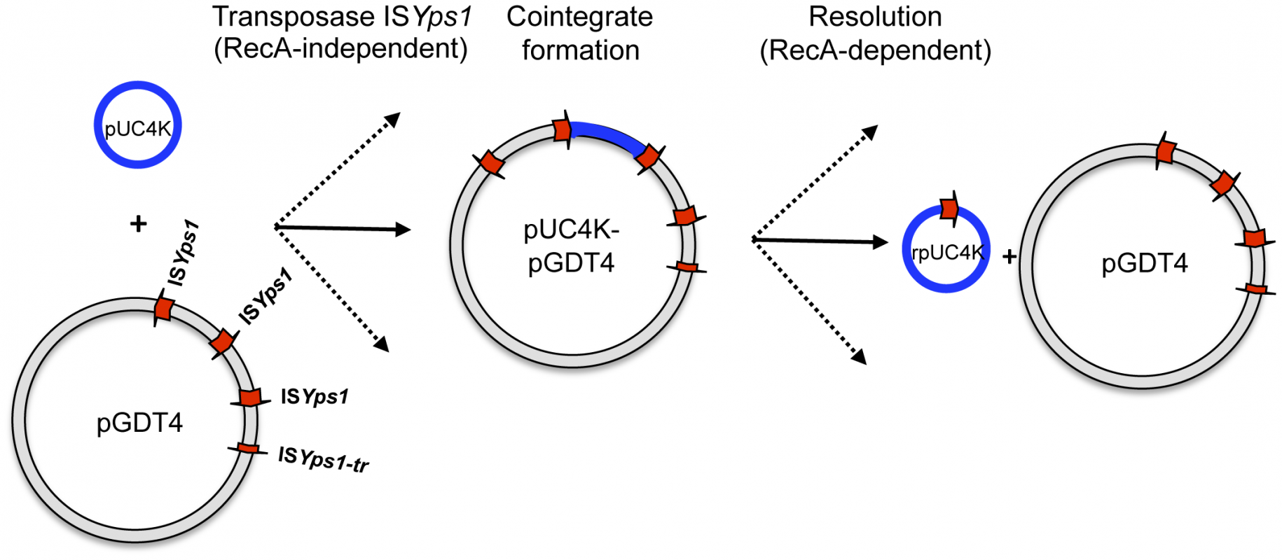 Model proposed for pUC4K mobilization based on the transposition mechanism of the IS<i>6</i> family.