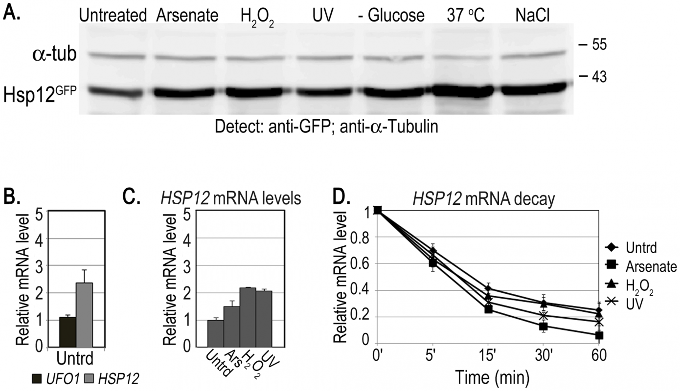 Induction of Hsp12 protein and mRNA, and mRNA decay after stress.