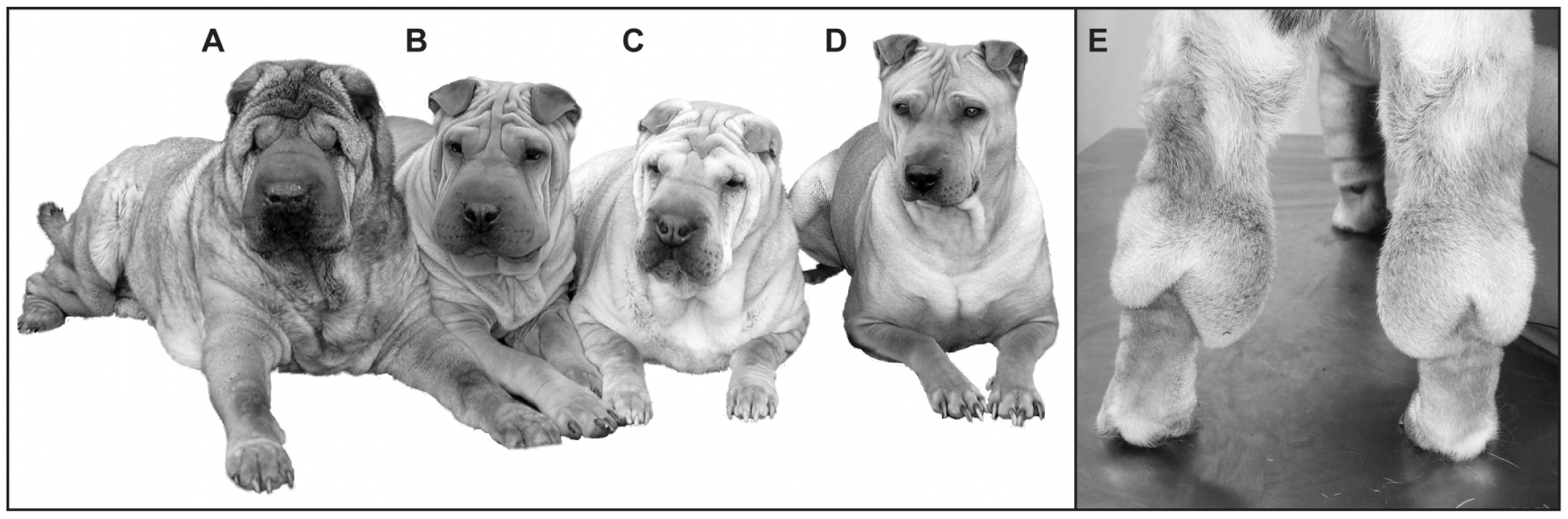 The phenotypic spectrum of the Chinese Shar-Pei.
