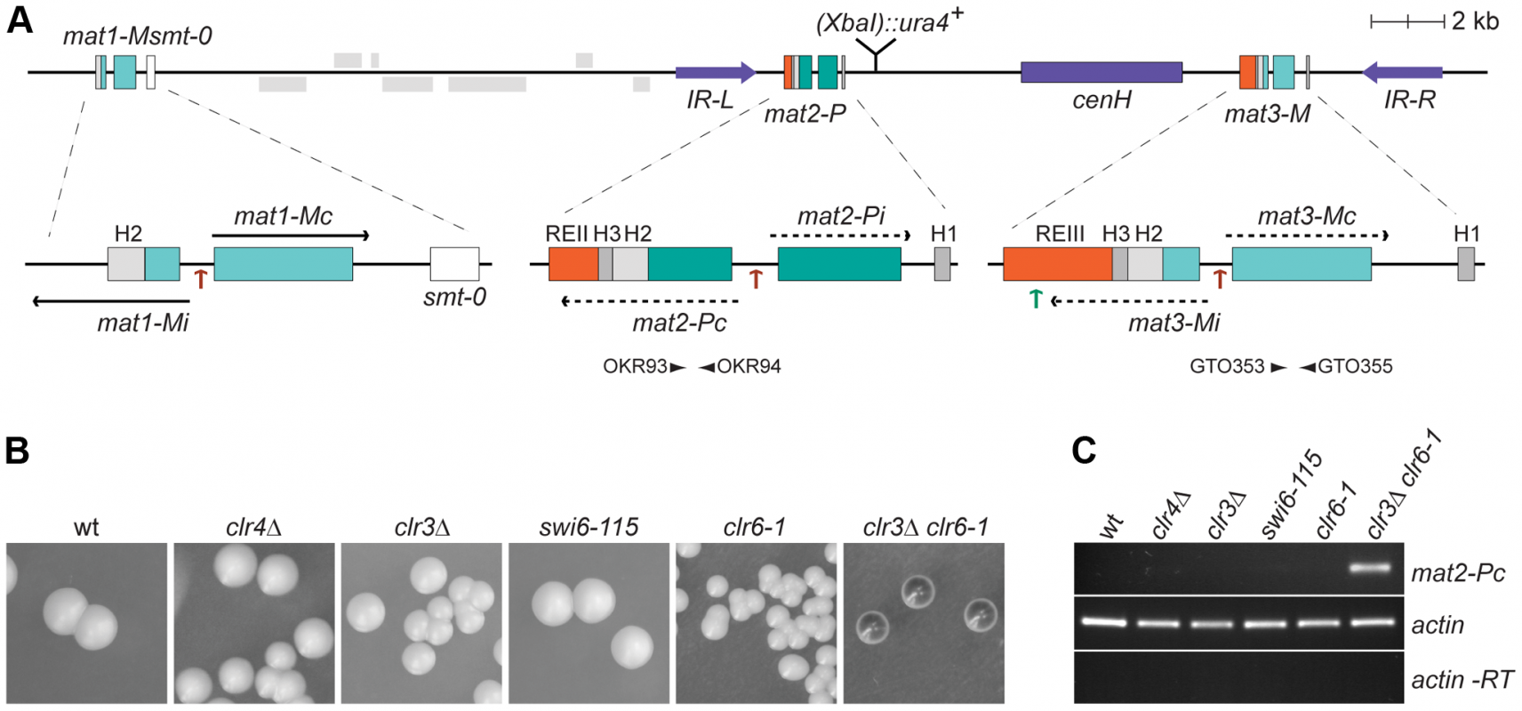 Prominant role of histone deacetylation in the repression of <i>mat2-P</i>.
