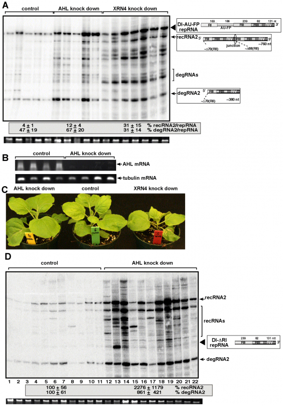 The role of <i>AHL1</i> phosphatase in TBSV RNA recombination.