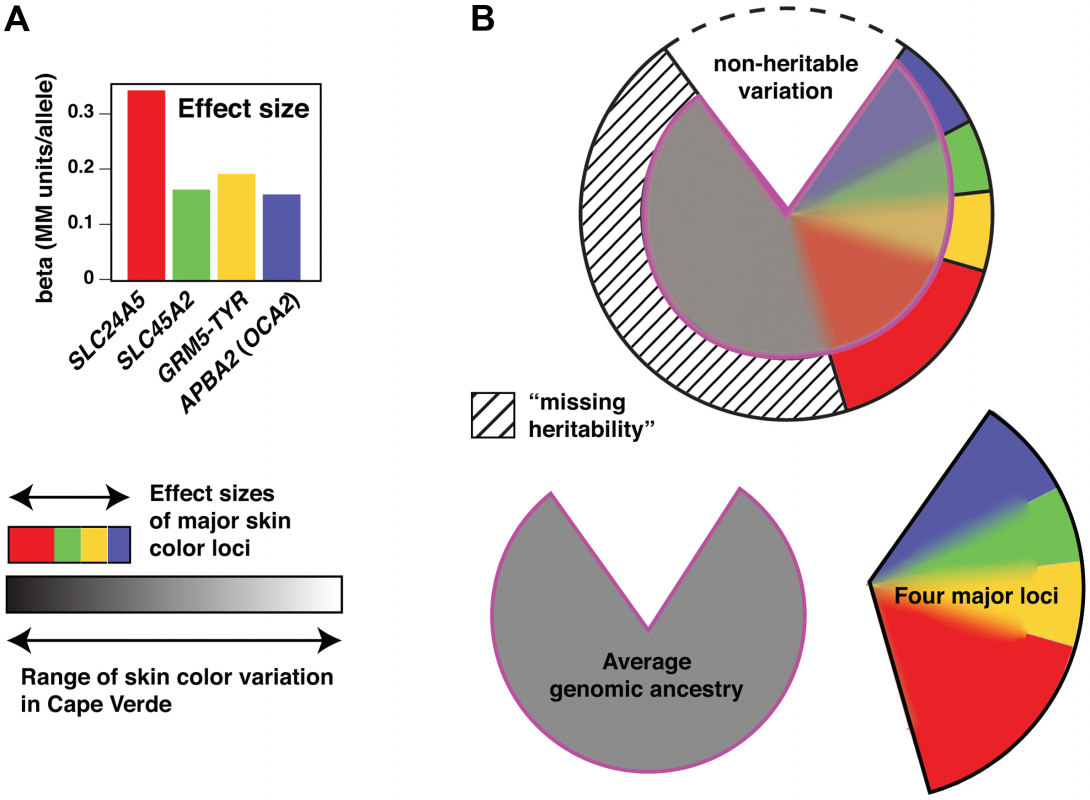 Genetic architecture of skin color variation.