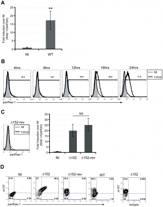 RAE-1 mRNA and protein are induced upon infection of mouse fibroblasts.