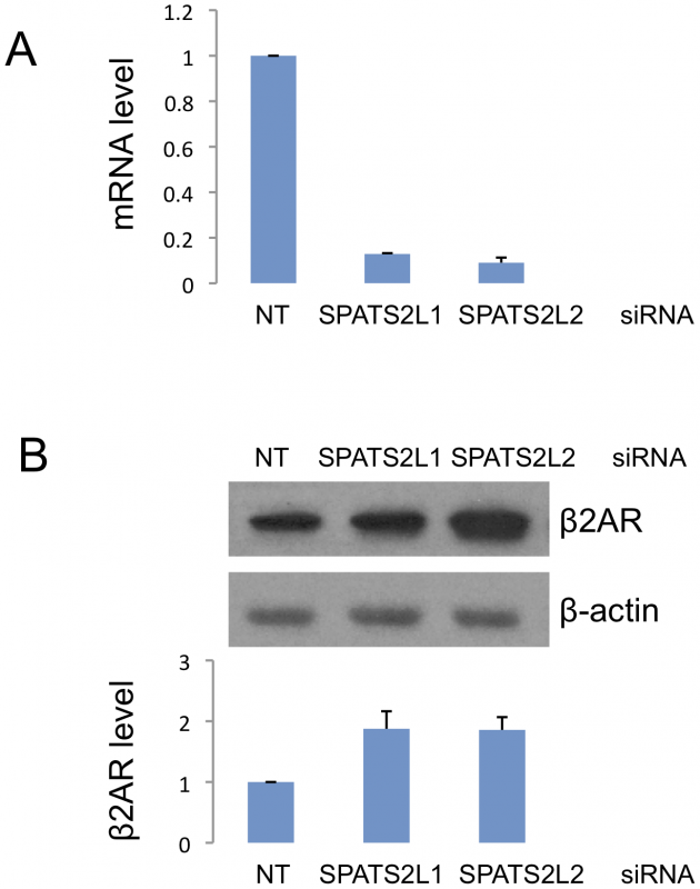 Effect of siRNA-mediated <i>SPATS2L</i> knockdown on β<sub>2</sub>-adrenergic receptor levels in HASM cells.