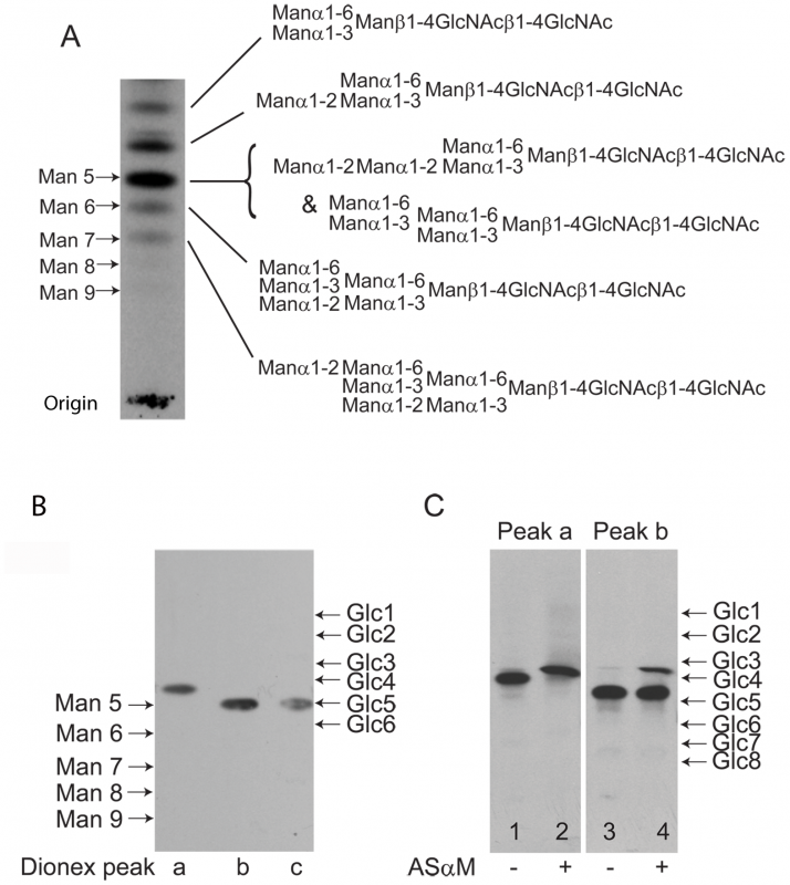 Fluorographs of HPTLC analyses of released and radiolabeled N-glycans from purified TfR.