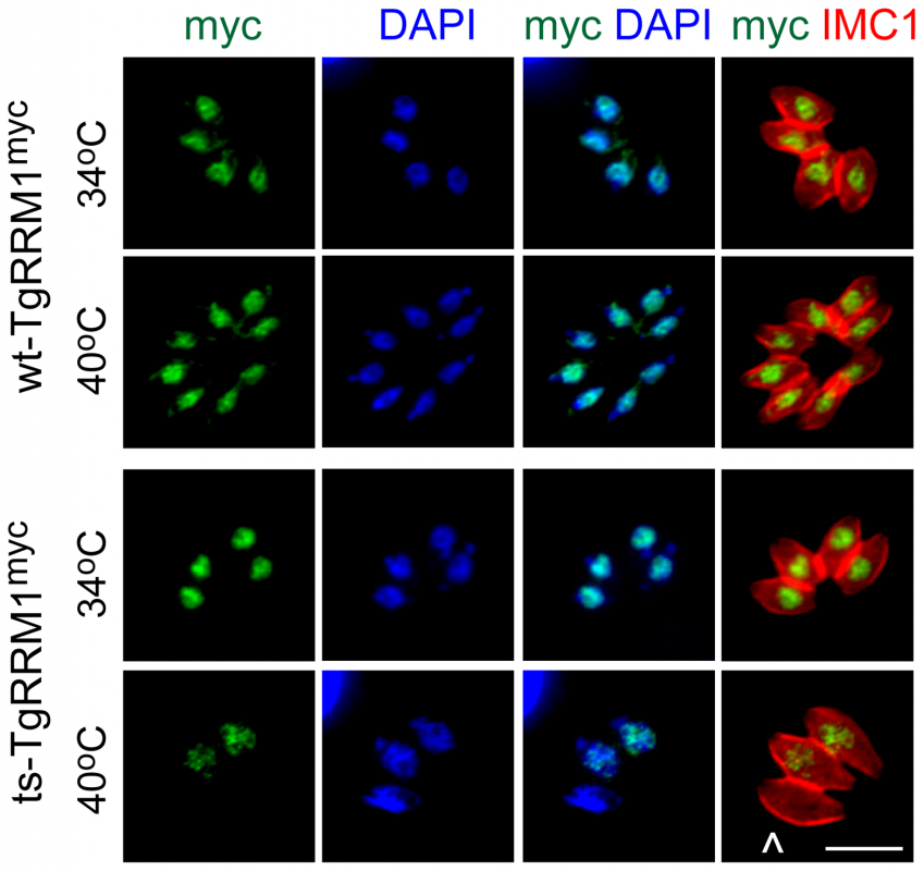 Loss of TgRRM1 expression underlies the temperature lethal phenotype of mutant 12-109C6.