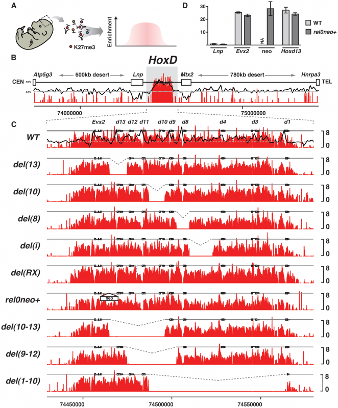 Effect of single <i>Hox</i> gene deletions on the H3K27me3 profiles.