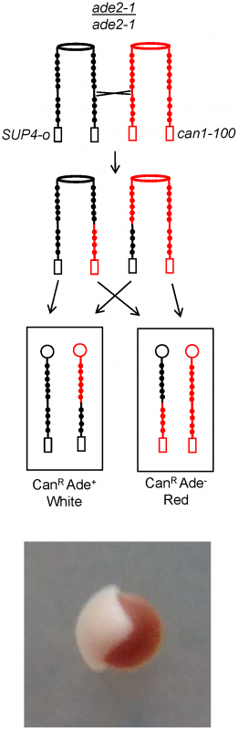 Detection of reciprocal crossovers.