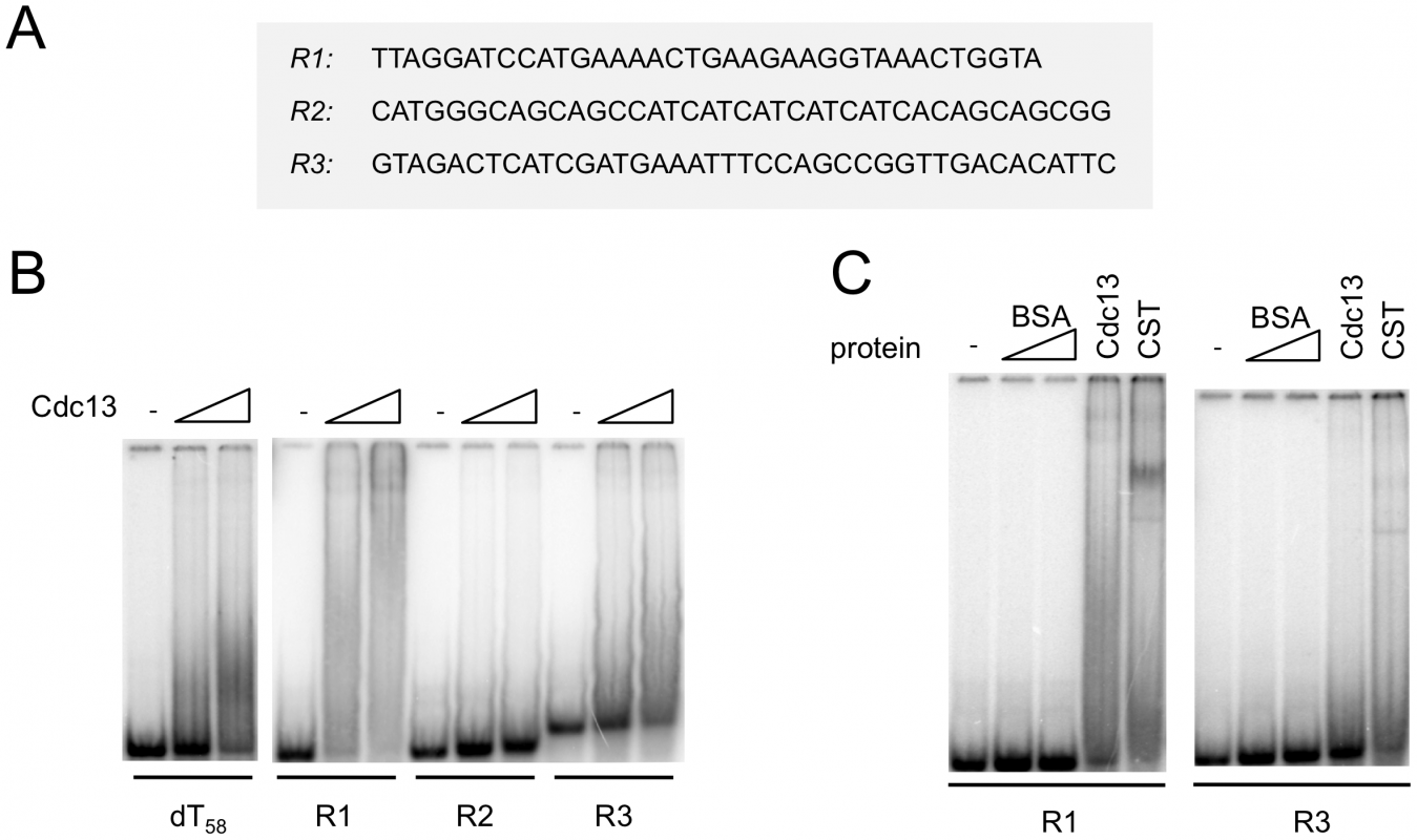 Cdc13 and CST form unstable complexes with non-telomeric DNA.