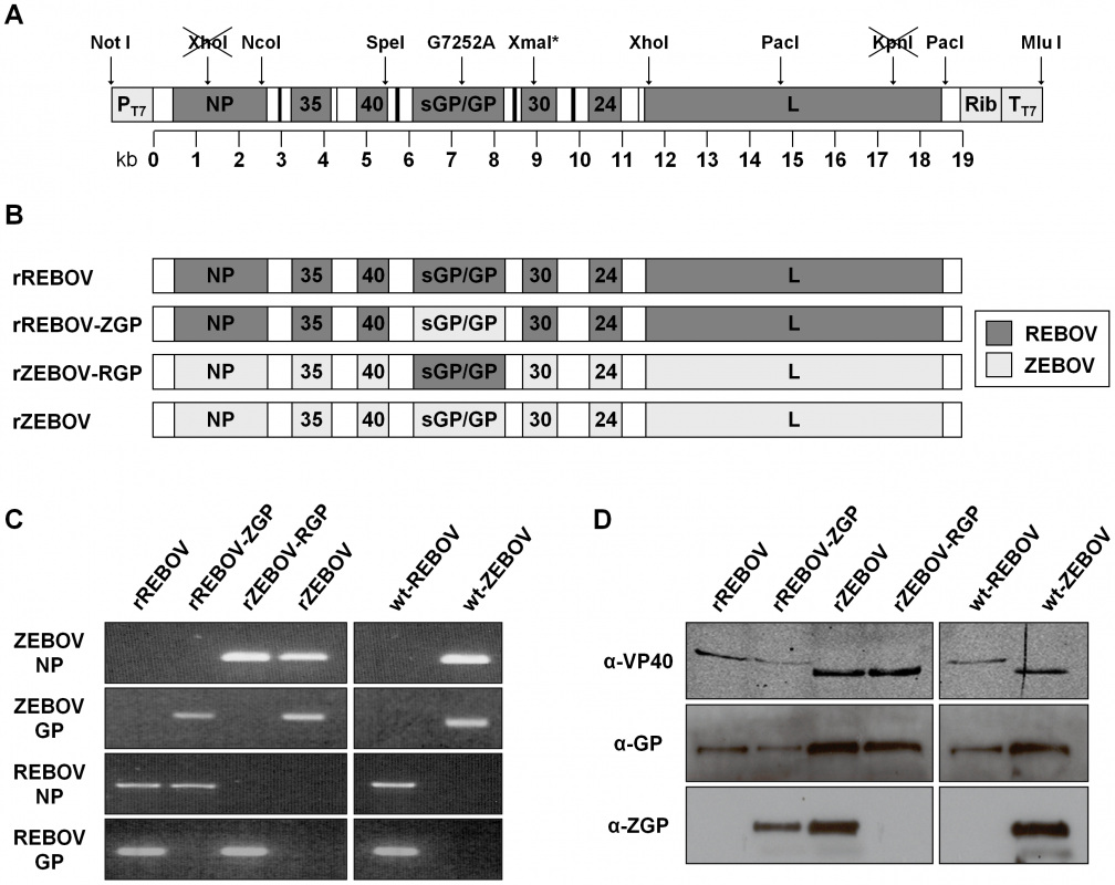 Reverse genetics for REBOV and rescue of chimeric Ebola viruses.