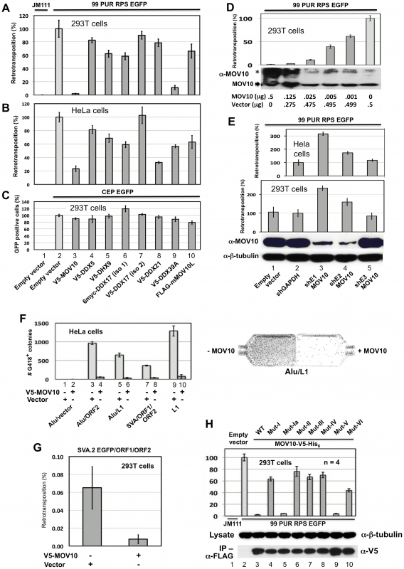 Evidence from cell culture retrotransposition assays that MOV10 inhibits insertion of non-LTR retrotransposons.