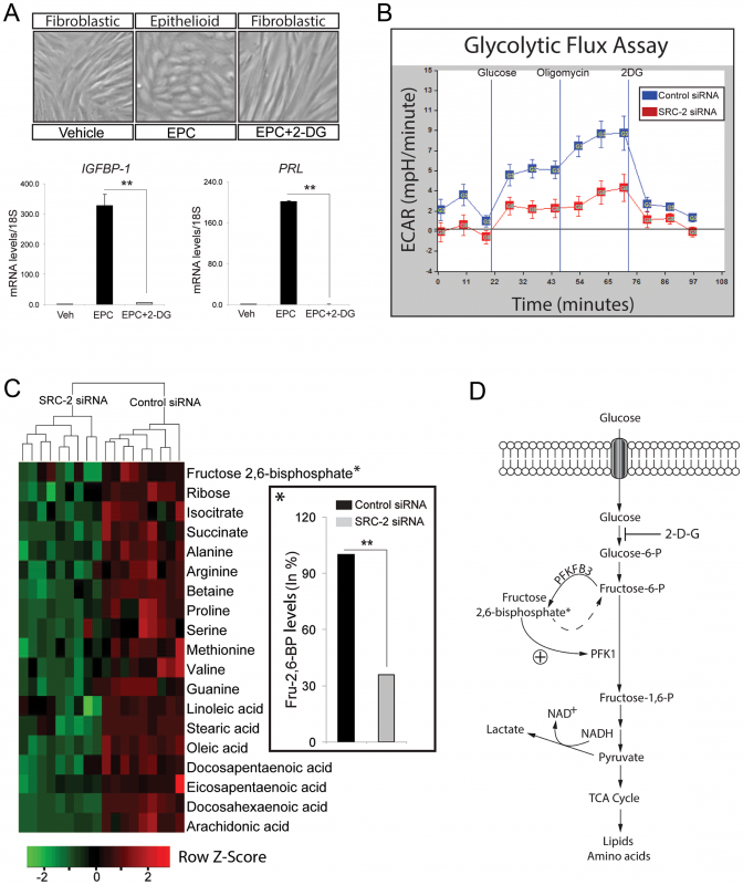 SRC-2 dependent acceleration of the glycolytic flux is required for hESC decidualization.