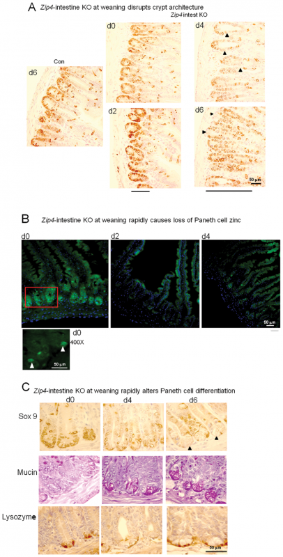 Intestine-specific deletion of <i>Zip4</i> leads to progressive disruption of crypt architecture, the rapid loss of zinc, and reprogramming of Paneth cells.