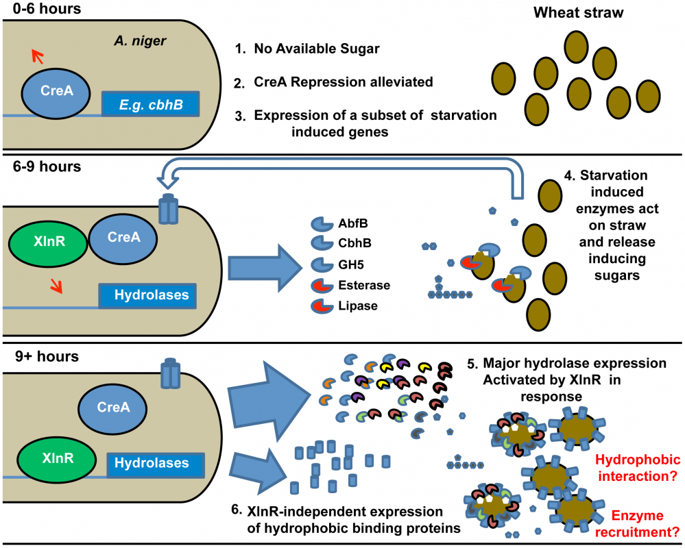 Induction model based on the sequential expression of responsive genes.