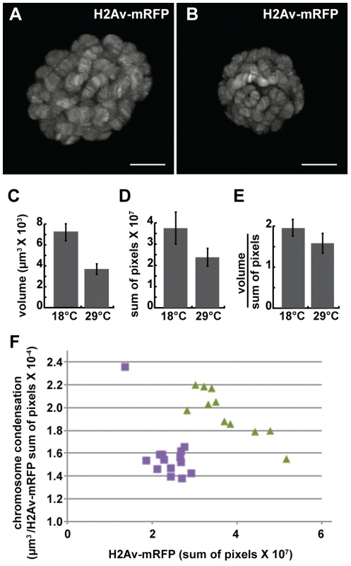 The loss of dMi-2 function promotes chromosome compaction.