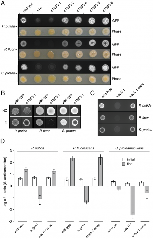 T6SS-1 is involved in cell contact-dependent interbacterial interactions.
