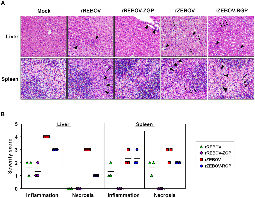 Pathological evaluation of tissue samples from IFNAR<sup>−/−</sup> mice.