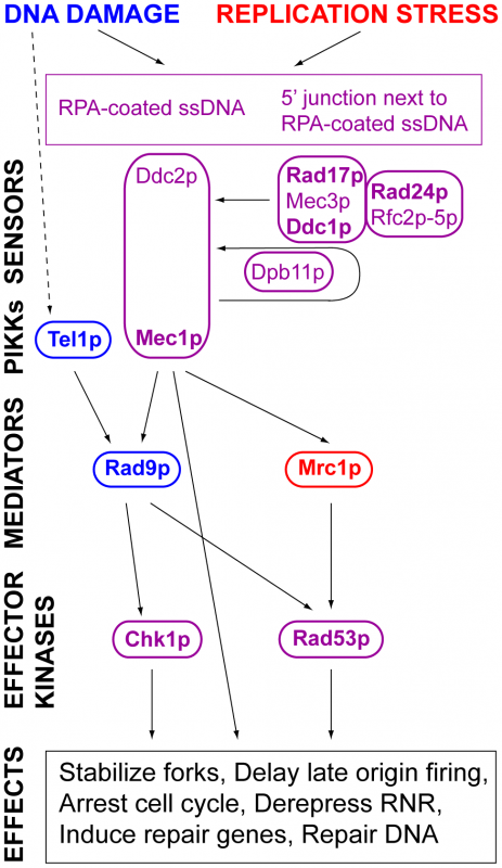 DNA damage and replication stress response pathways.