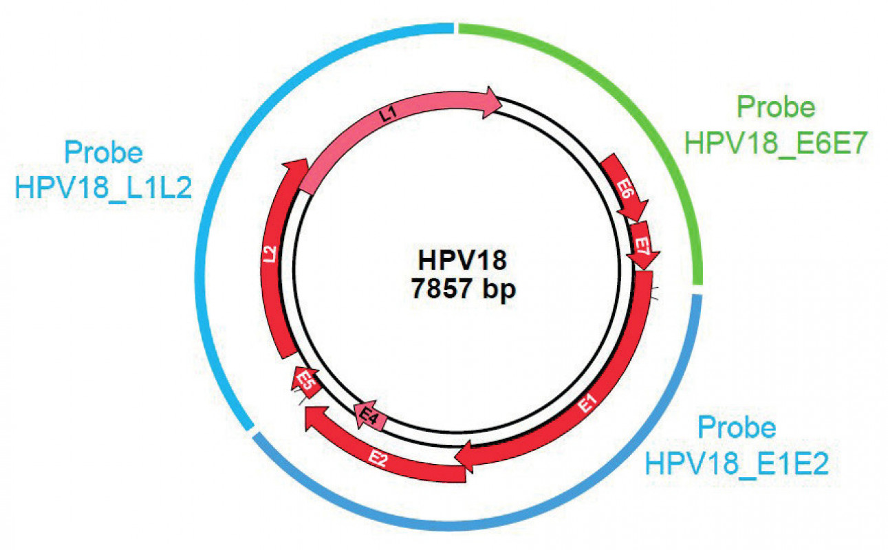 GMC probe location on HPV genome – Example of HPV18.