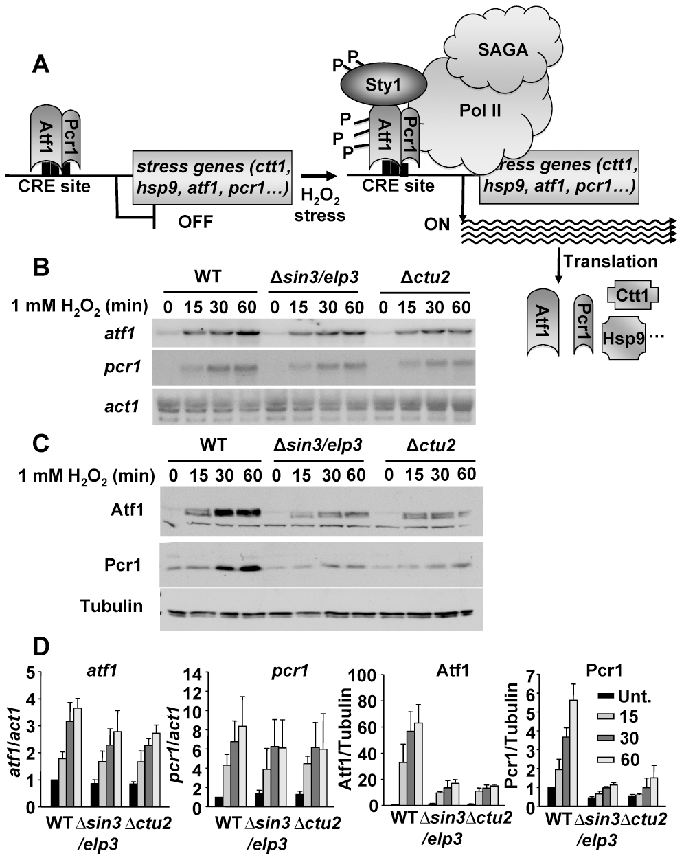 Protein levels of the stress transcription factors Atf1 and Pcr1 depend on the U<sub>34</sub> modifying activities Sin3/Elp3 and Ctu2.