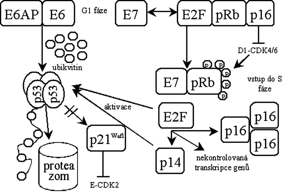 Schéma transformace buňky virovými onkogeny E6 a E7. E6AP – buněčná ubikvitin ligáza rodiny E3, p21Waf1 – p53 závislý inhibitor cyklin-dependentních kináz, pRb – retinoblastomový nádorový supresor, E2F – transkripční faktor regulující přechod G1/S, p16 – inhibitor cyklin-dependentních kináz, p14 – inhibitor proteinu MDM2.