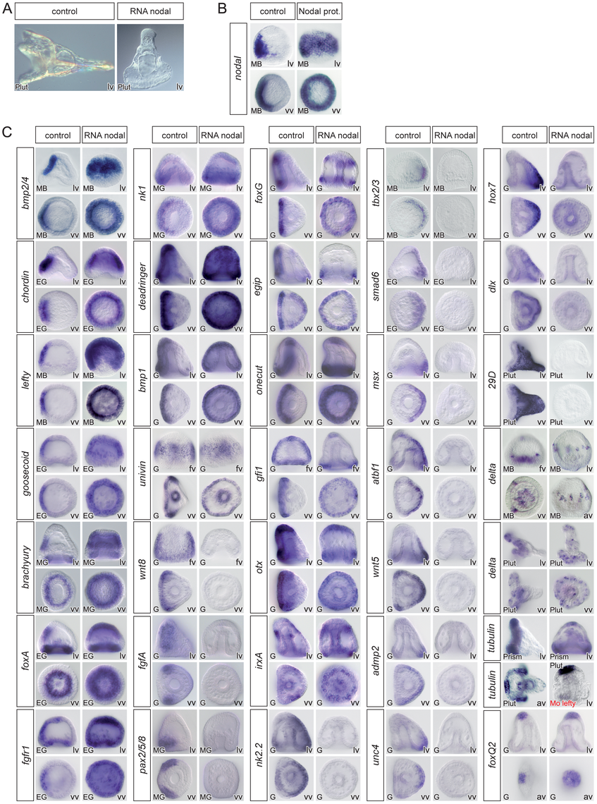 Overexpression of <i>nodal</i> represses the expression of ciliary band and dorsal marker genes and expands the expression of ventral markers genes.