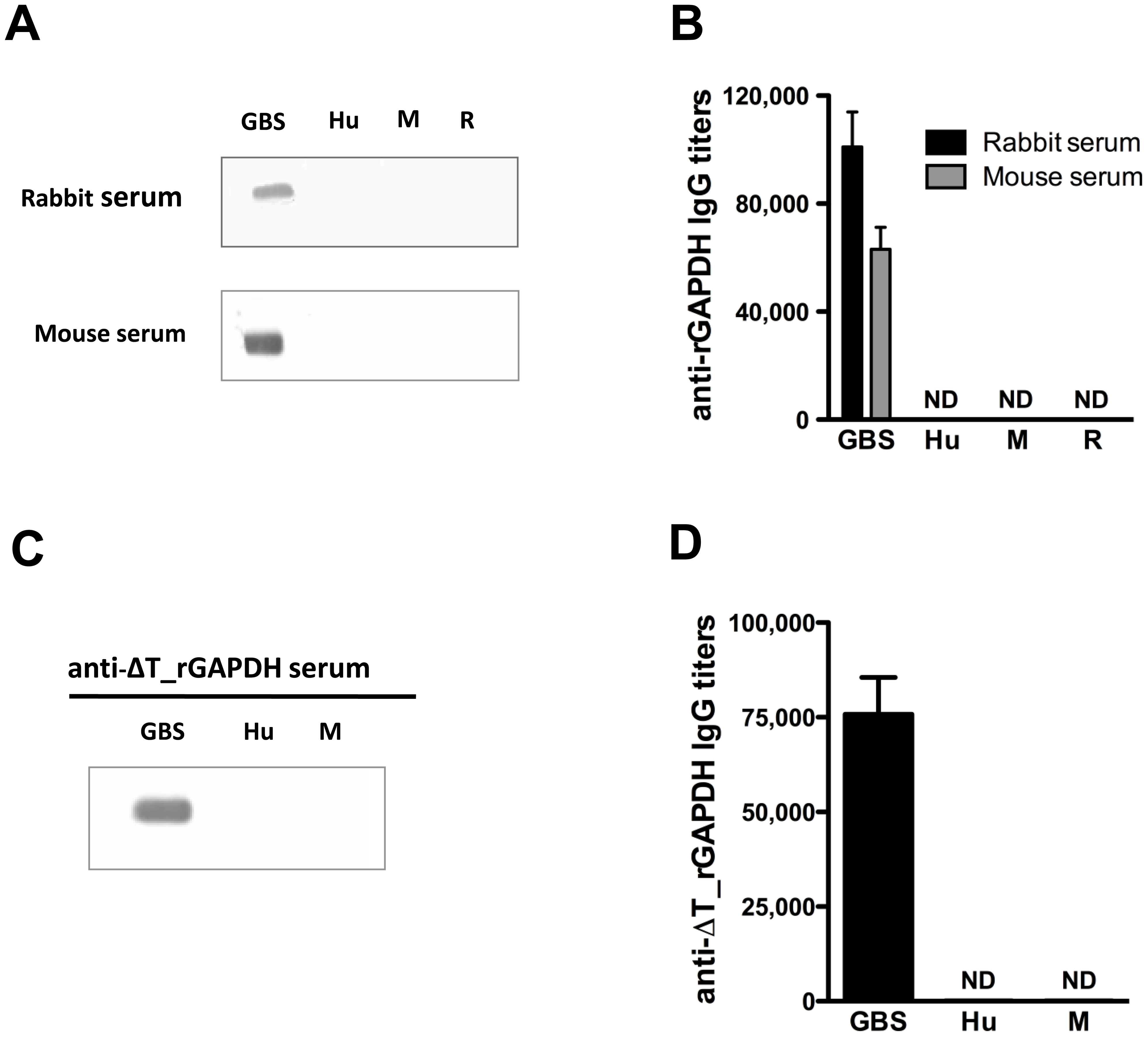 Antibodies against GBS GAPDH do not cross-react with human, rabbit or mouse GAPDH.