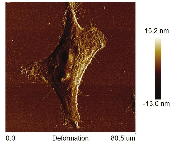 Mapy mechanických vlastností buněčné linie HeLa fixované 2% glutaraldehydem po dobu 20 min v samostatných kanálech v průběhu měření pomocí Peak Force Tapping A) Youngův modulus s využitím DMT modelu, B) adheze, C) disipační energie, D) deformace. Zobrazeno na vzduchu, velikost 80,5×80,5 µm, rozlišení 256 px, rychlost skenu 0,1 Hz s využitím AFM Bioscope Catalyst a hrotu ScanAsyst Air (Bruker).
