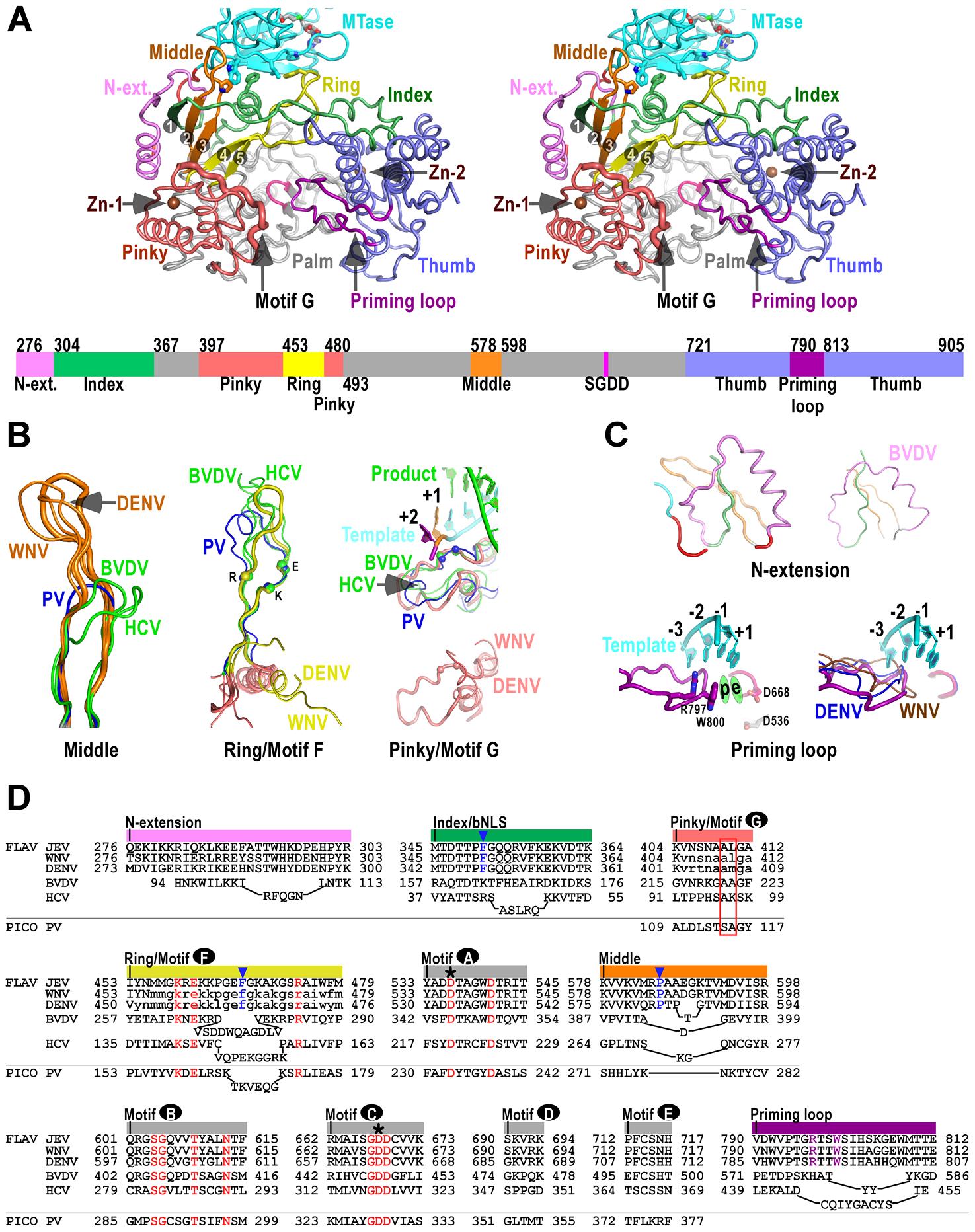 The RdRP region of flavivirus NS5.