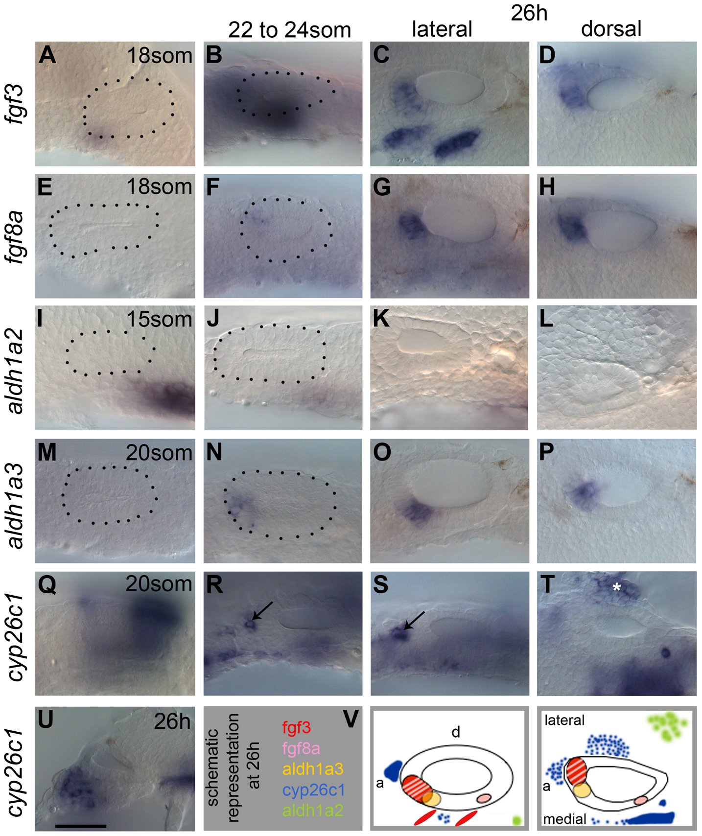 Expression of FGF and RA signalling pathway components during zebrafish OV development.