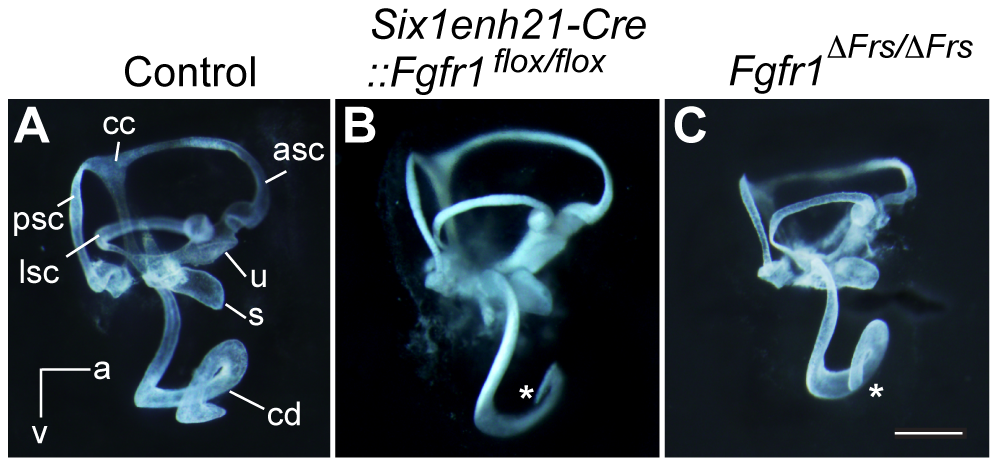 Inner ear development is disrupted in <i>Fgfr1</i> mutants.