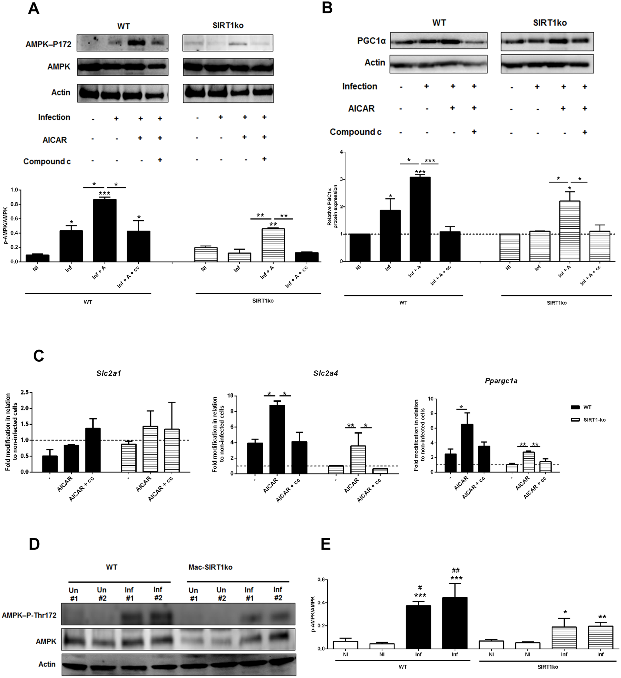 AMPK acts downstream SIRT1 in <i>Leishmania</i>-infected macrophages.