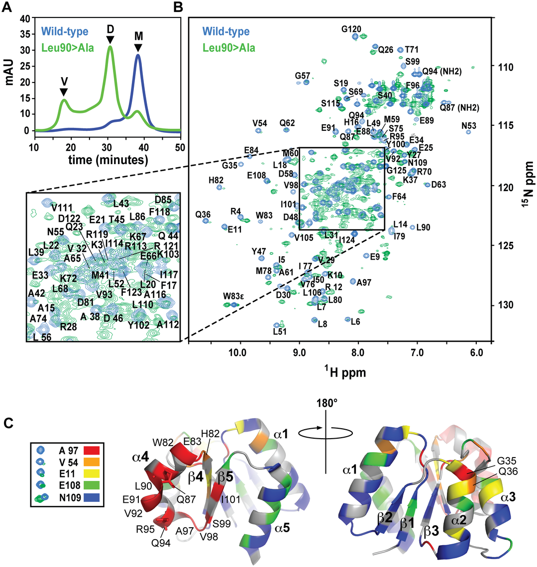 SEC and NMR analysis of wild-type RitR<sub>ALR</sub> and the RitR<sub>ALR</sub> Leu90&gt;Ala mutant proteins.