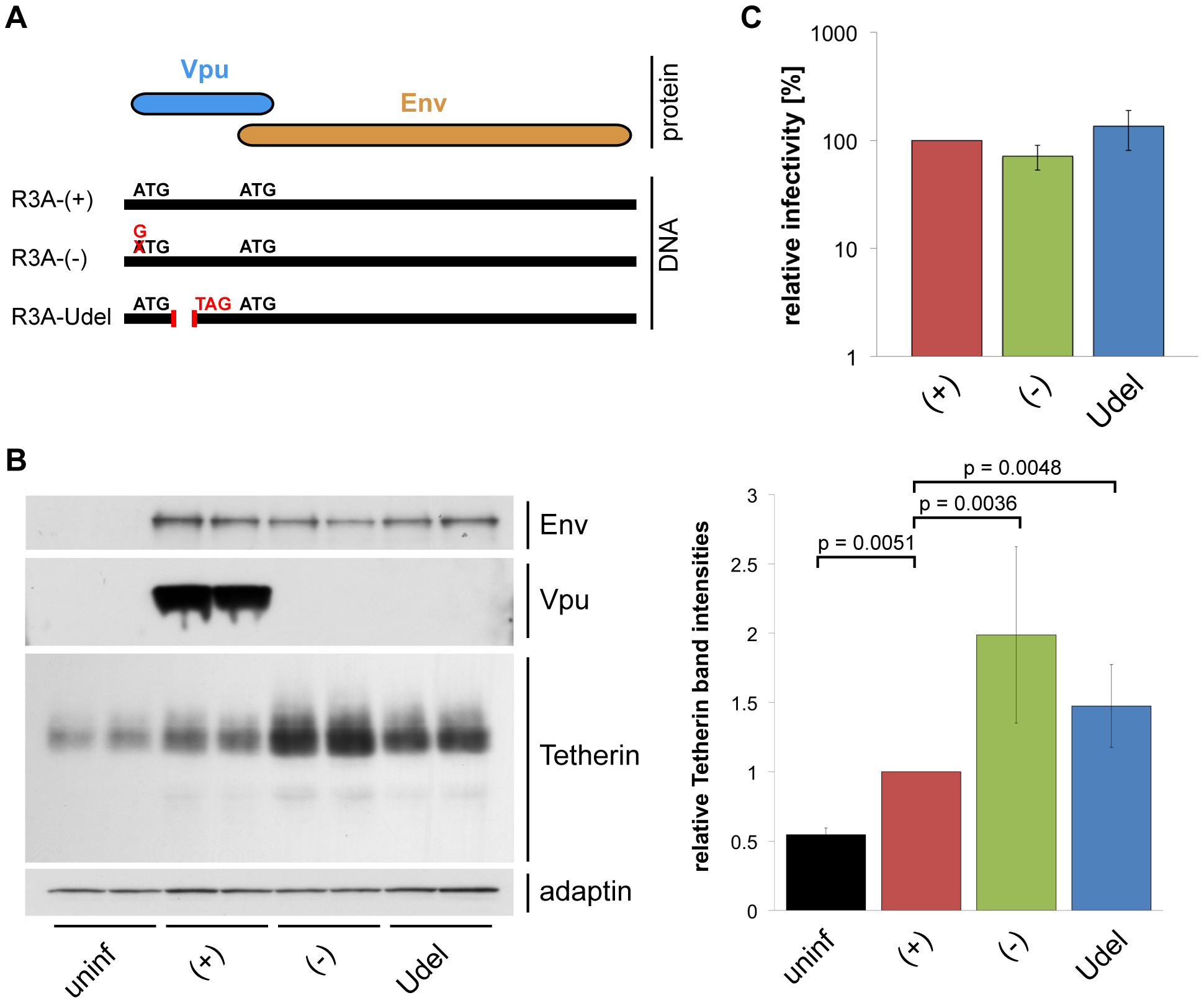 Vpu efficiently antagonises Tetherin in MDMs.