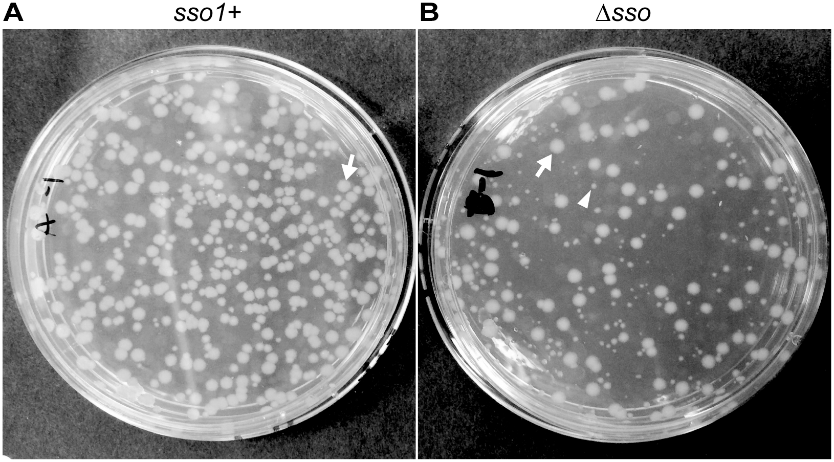 <i>sso1</i> contributes to stable acquisition of ICE<i>Bs1</i> by recipients.