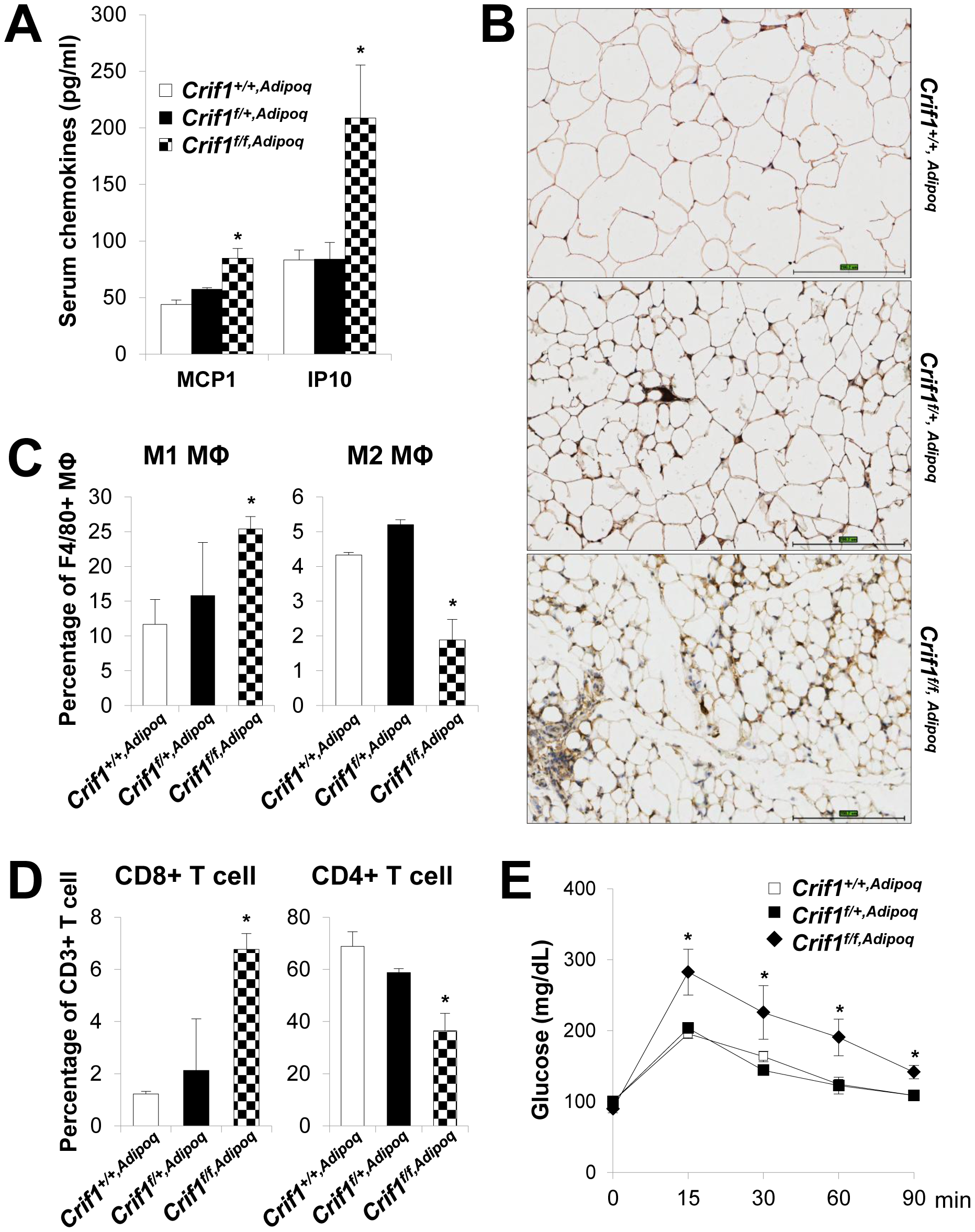 Recruitment of macrophages and T cells to adipose tissue in <i>Crif1<sup>f/f,Adipoq</sup></i> mice.