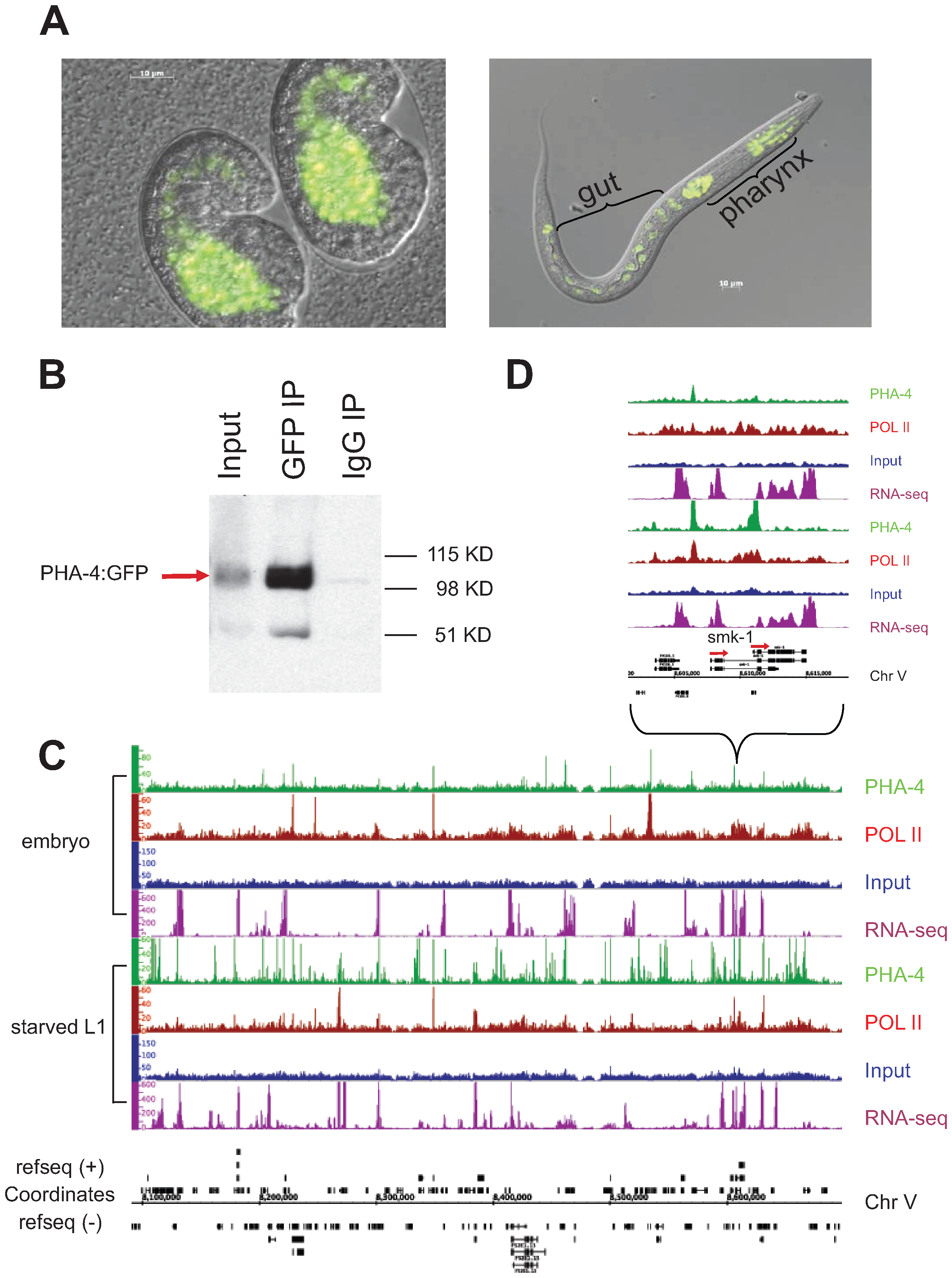 Identification of PHA-4 binding sites in embryos and starved L1 larvae.