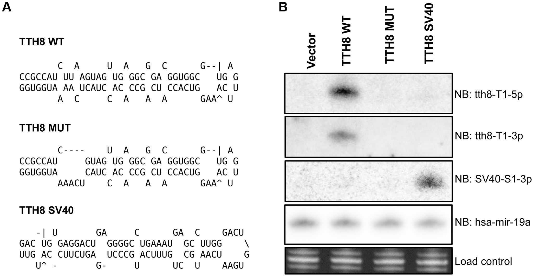Generation of mutant and SV40 recombinant TTVs.