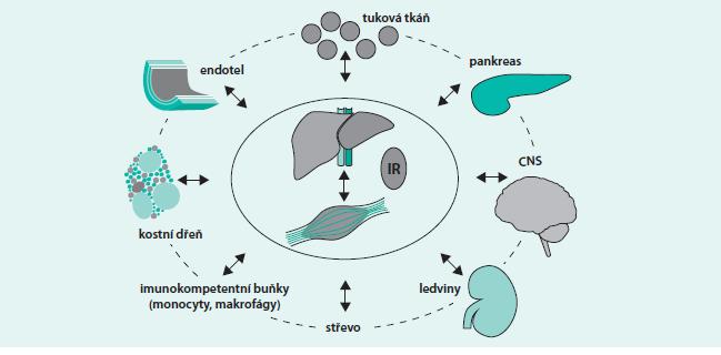 Schéma 3. Tkáně a buňky, které se uplatňují v patogeneze DM2T