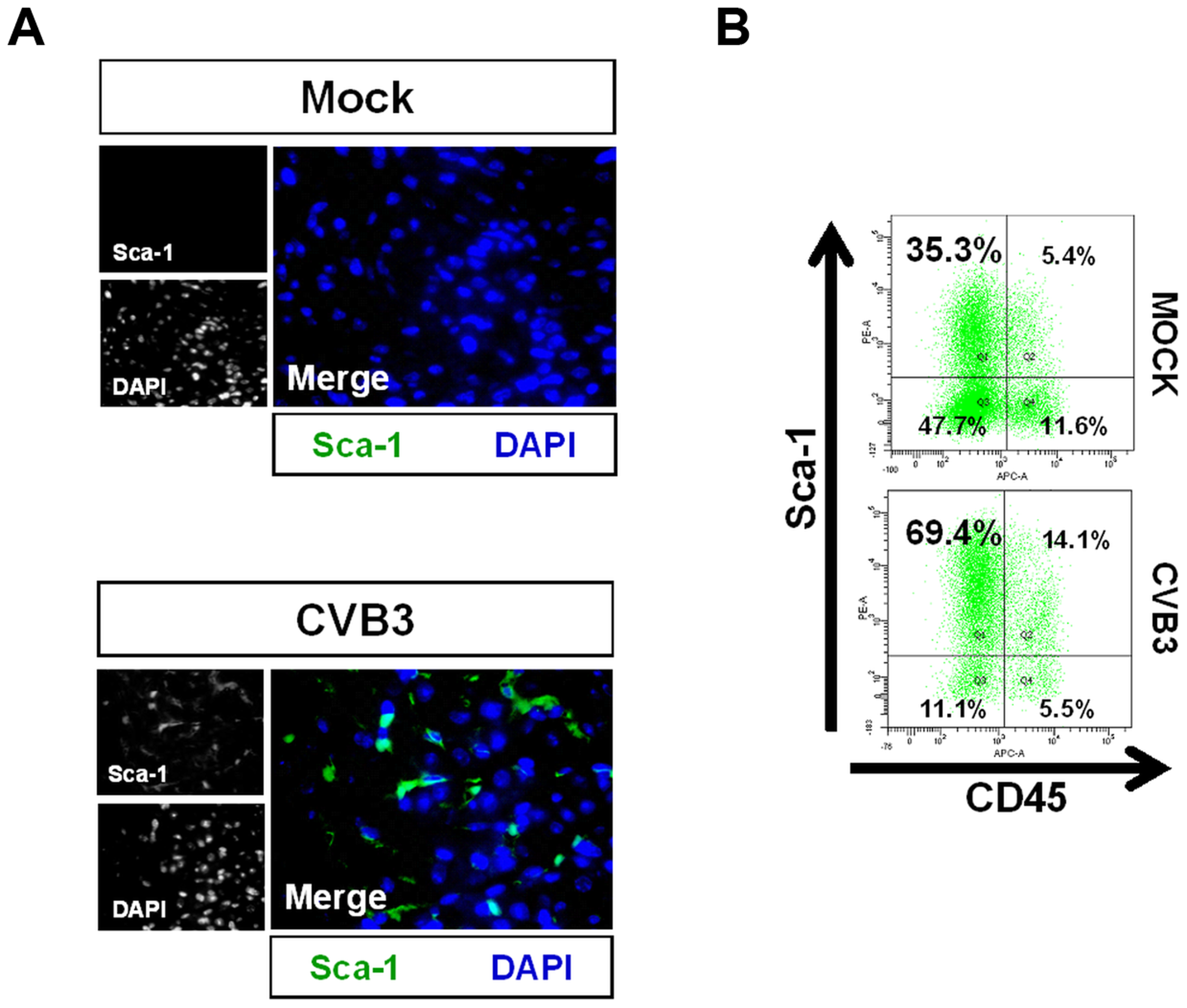 Acute CVB3 infection in juvenile mice induced an increase in myocardial Sca-1 expression.