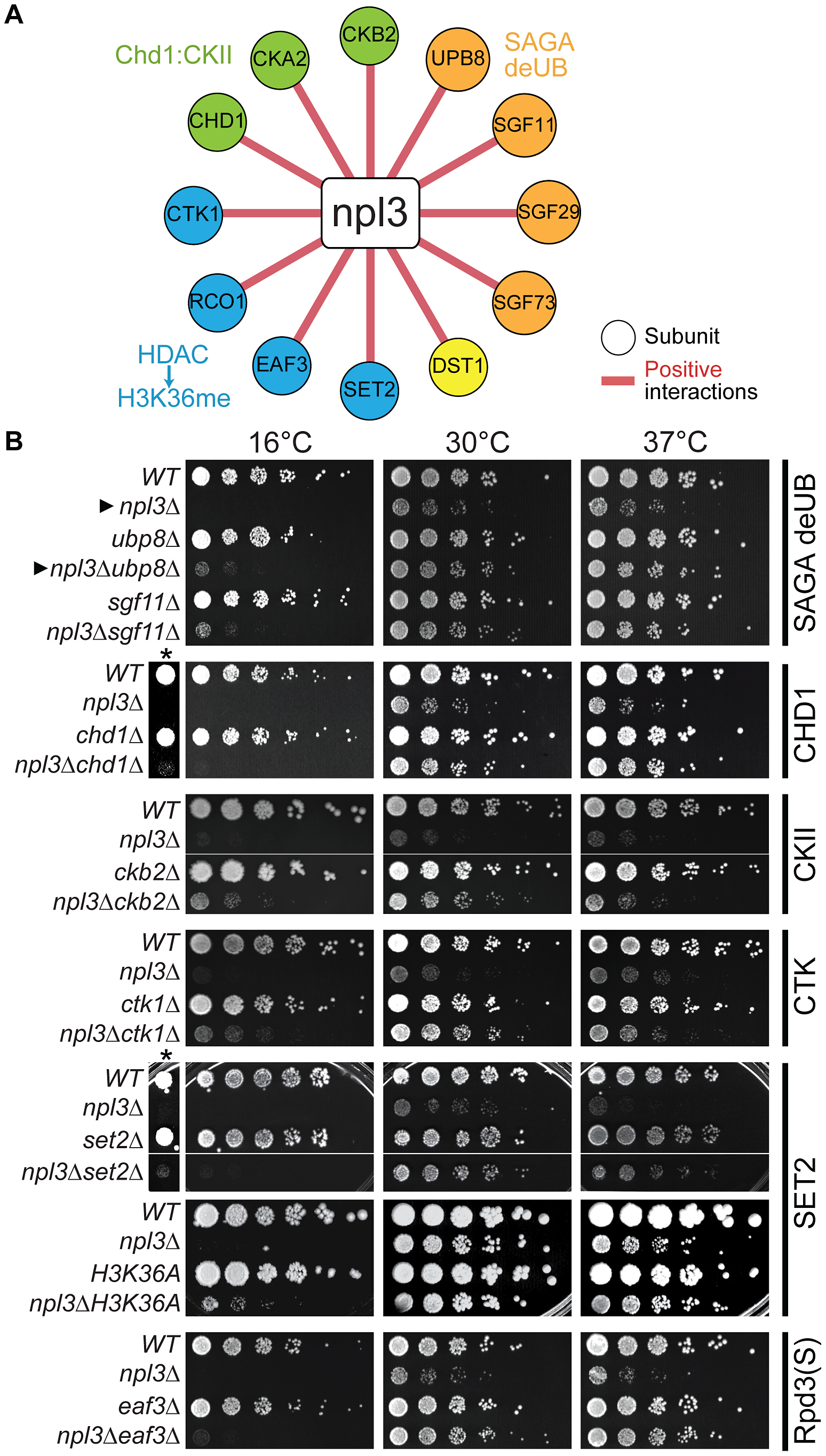 The <i>npl3</i>Δ growth defect is suppressed by mutations in genes encoding transcription and chromatin factors.