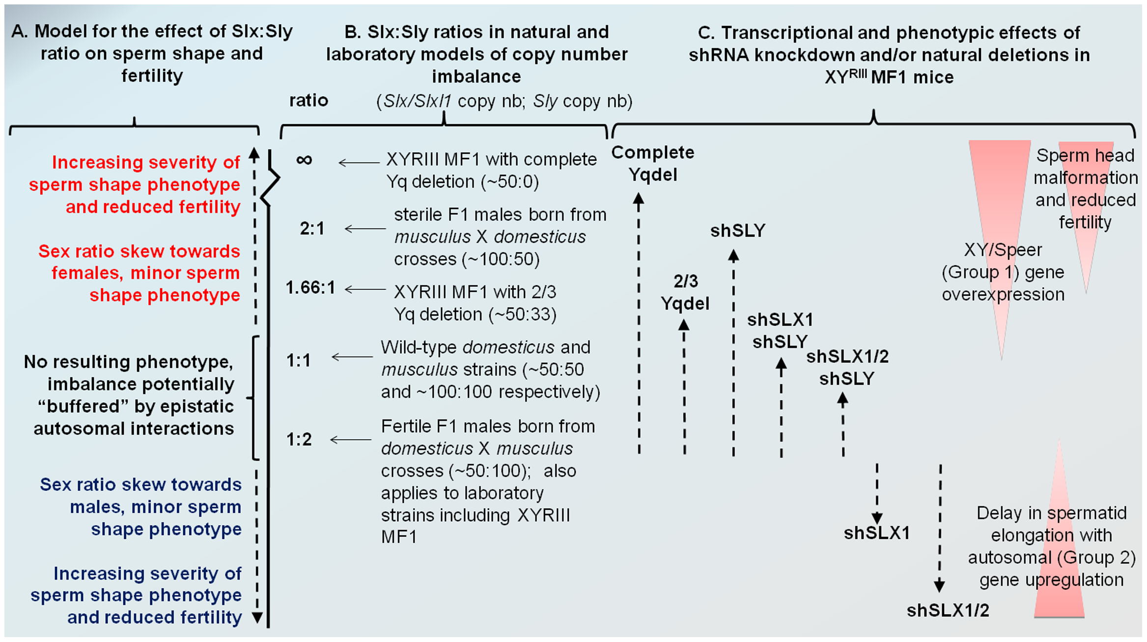 Model comparing <i>Slx:Sly</i> copy number imbalance in natural and laboratory mouse strains to <i>Slx:Sly</i> gene expression imbalance in shRNA knockdown models.