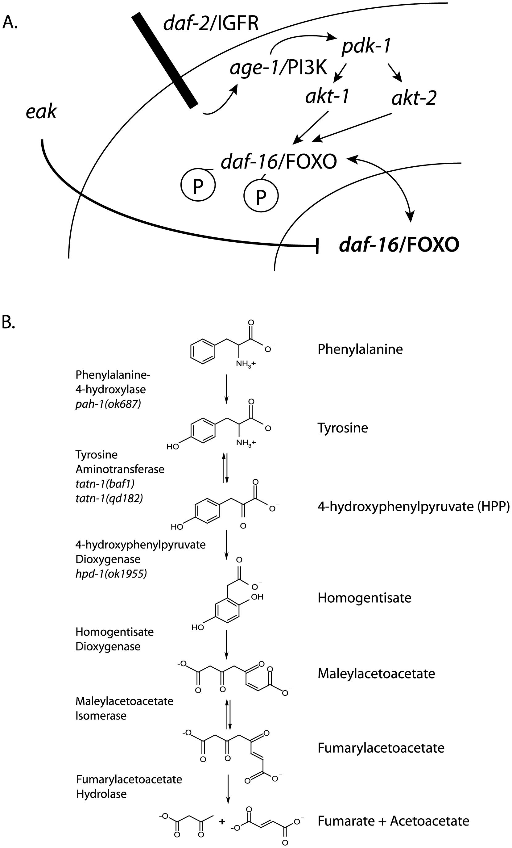 Diagram of <i>daf-2</i>/IGFR signaling pathway and tyrosine metabolic pathway.