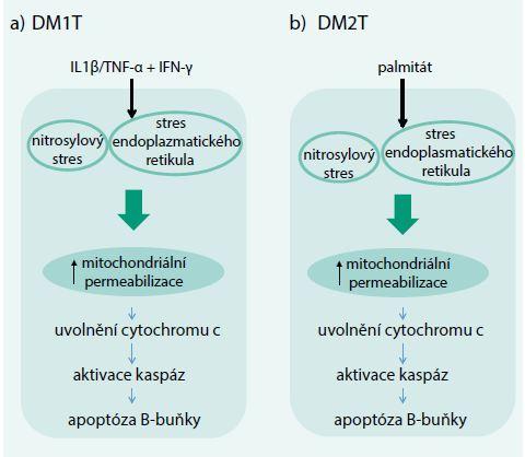 Schéma 1. Schéma nitrobuněčných změn B-buňky při DM1T a DM2T. Upraveno podle [4]