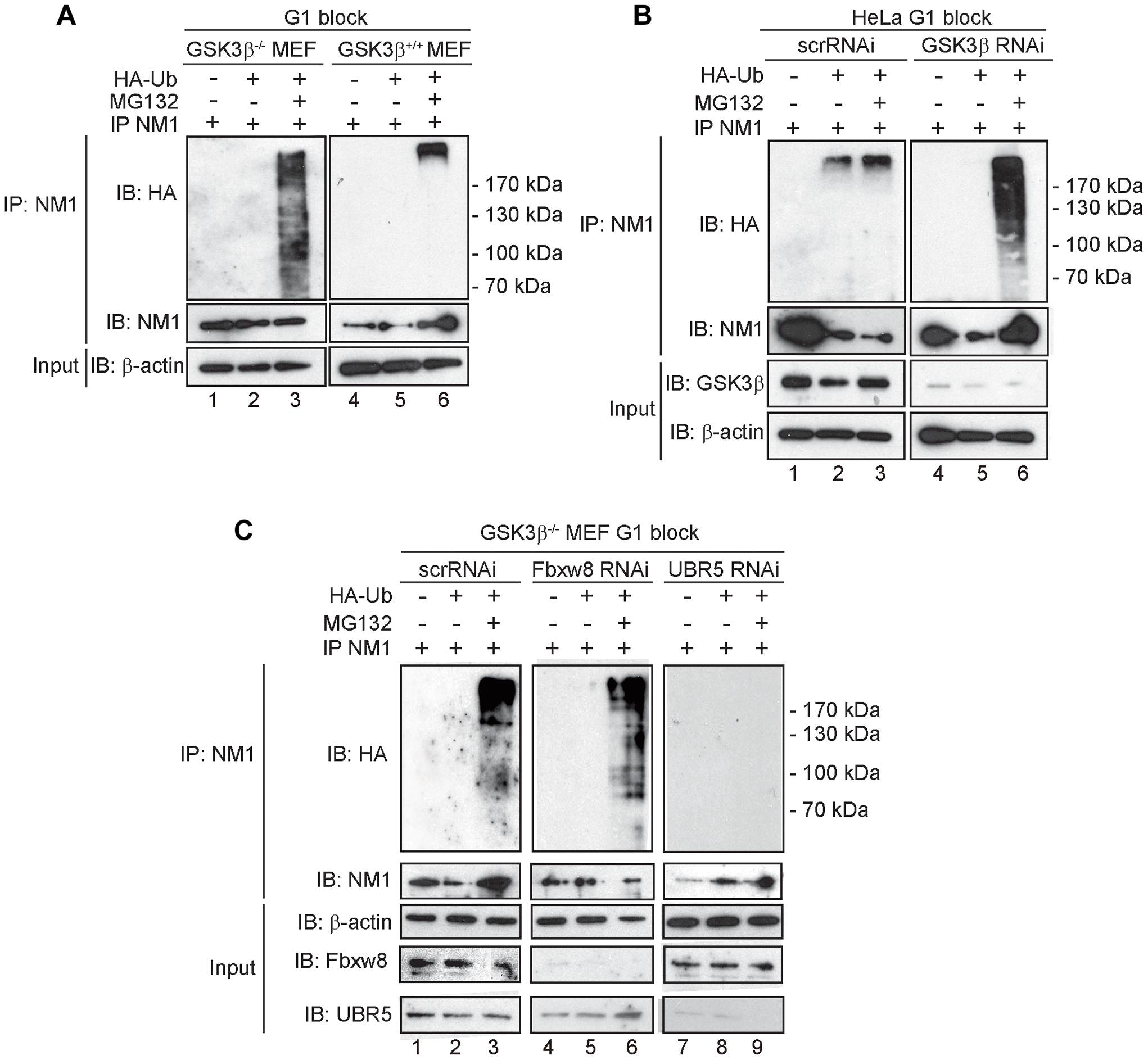 At G1, NM1 is ubiquitinated in a GSK3β-dependent manner by the E3 ligase UBR5.