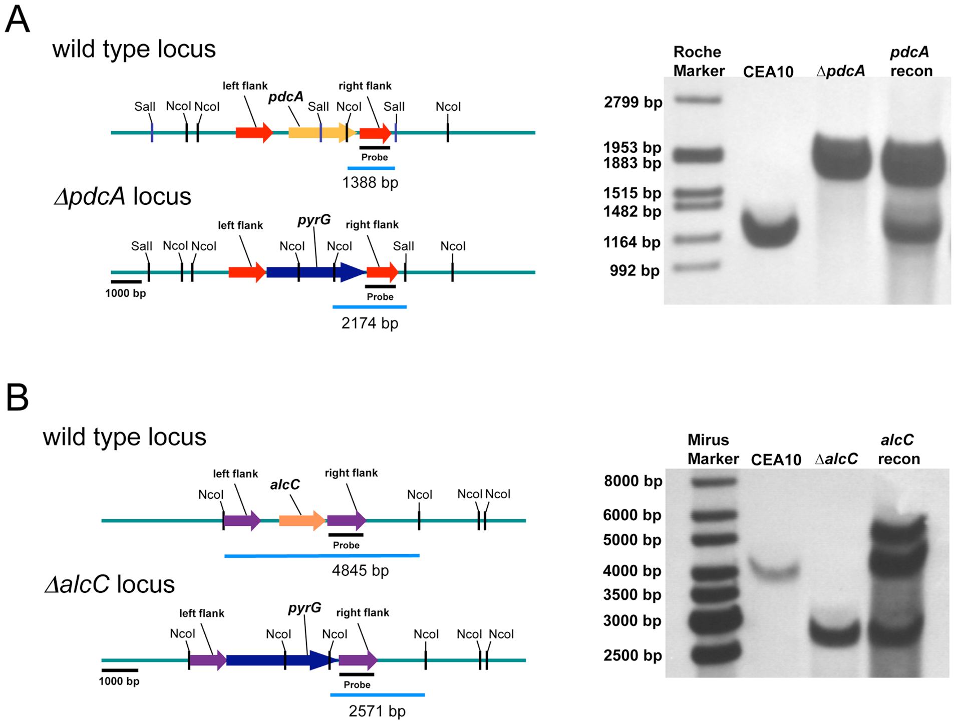 Generation and confirmation of PdcA and AlcC null mutants in <i>A. fumigatus</i>.