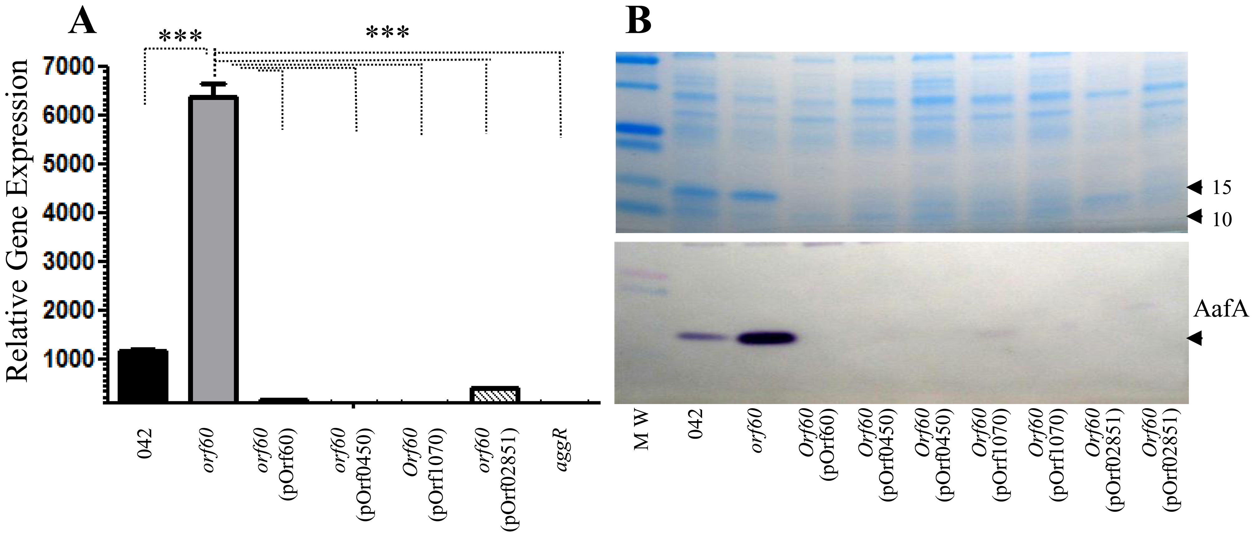 orf60 homologs from ETEC and <i>C. rodentium</i> repress AggR.