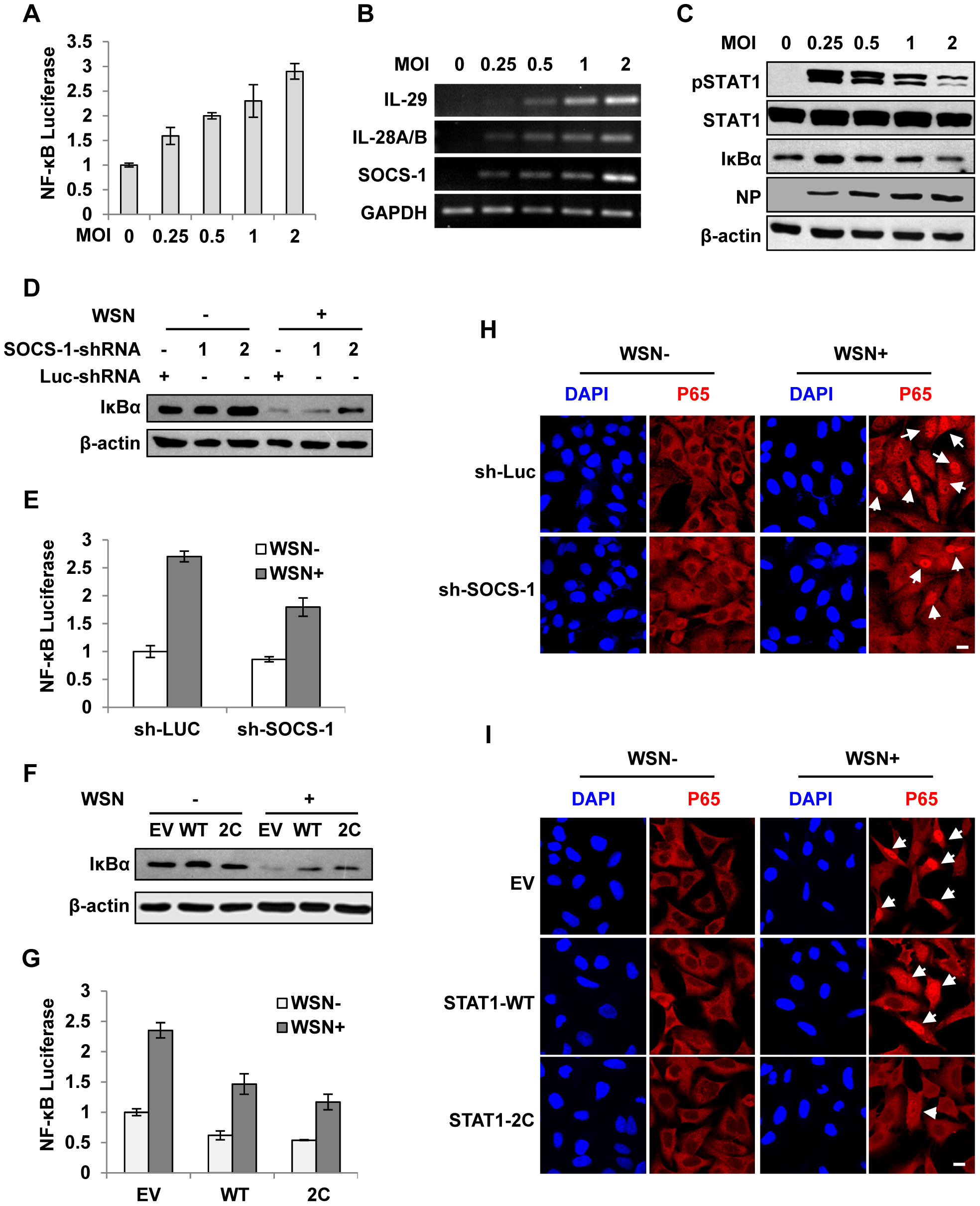 Disruption of cytokine signaling pathway results in robust activation of NF-κB during IAV infection.